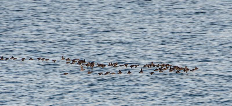 Crested Auklet flight