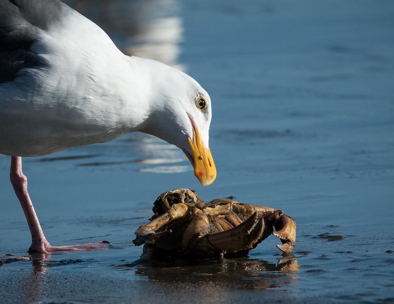 Western Gull and a crab, Drake's Beach, Pt Reyes Nat'l Seashore, CA  April 2017