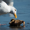 Western Gull and a crab, Drake's Beach, Pt Reyes Nat'l Seashore, CA  April 2017