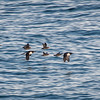 Thick-billed Murres & Crested Auklets