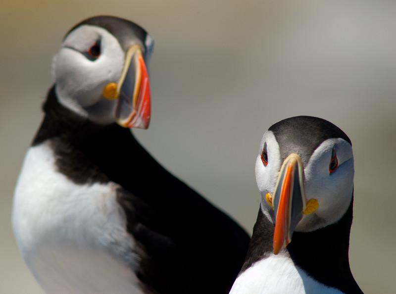 Atlantic Puffin, Machias Seal Island, N.B., Canada