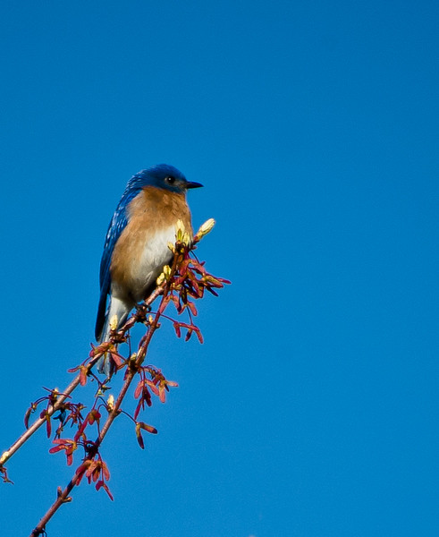 Eastern Bluebird in a Red Maple, Bent of the River Audubon Center,  CT, April 2003