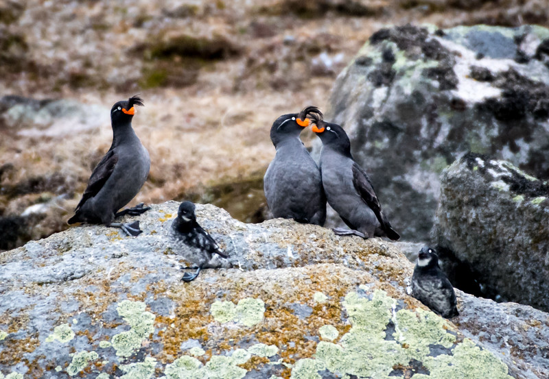 Crested Auklet pair courting