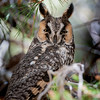 Long-eared Owl, Mercy Hot Springs, Fresno County, CA