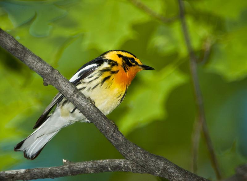 Blackburnian Warbler, Lake Mansfield, VT