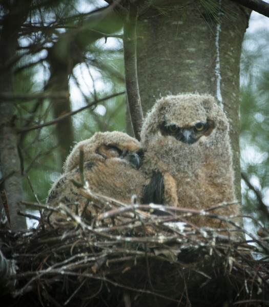 Great Horned Owls Nestlings