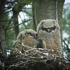 Great Horned Owls Nestlings