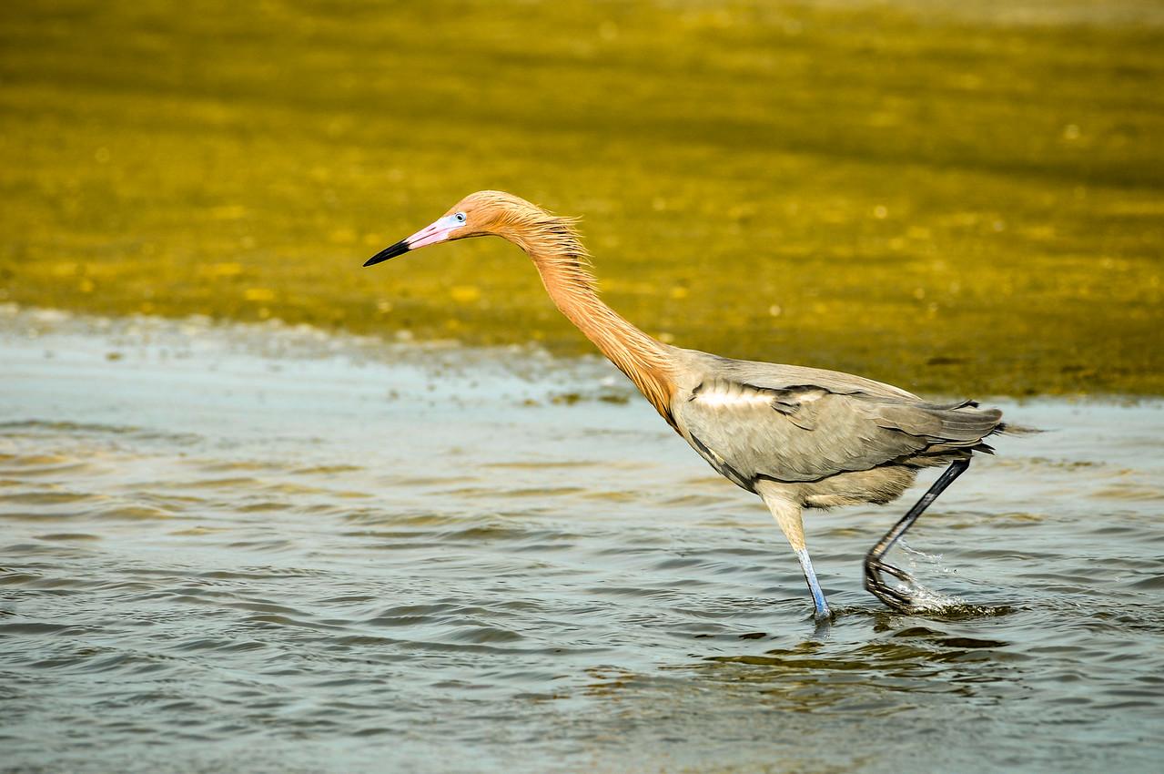 Reddish Egret, Siesta Key, Sarasota, Florida  February 2016