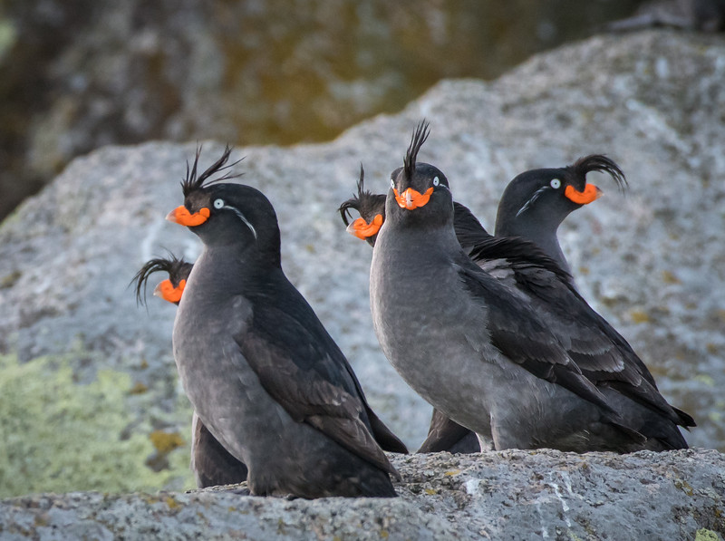 Crested Auklets, Gambell on St; Lawrence Island, AK May 2017