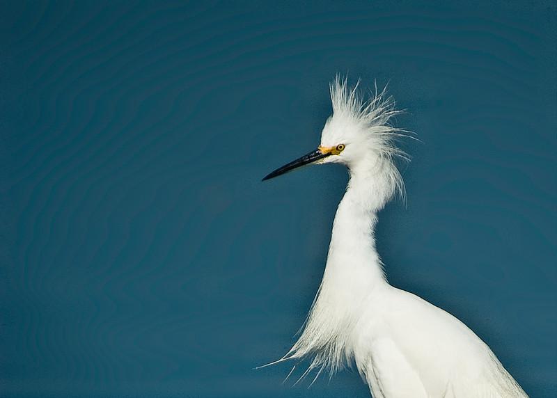 Snowy Egret in breeding plummage