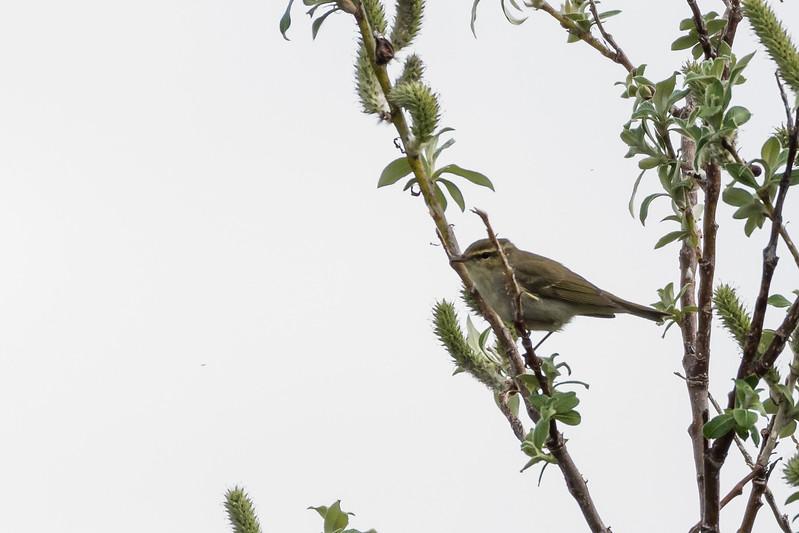 Artic Warbler