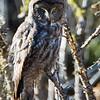 Great Gray Owl, Yosemite NP