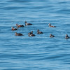 Harlequins & Long-tailed Ducks