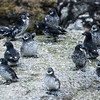 Least Auklets loafing