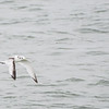 Black-legged Kittiwake -- Juv