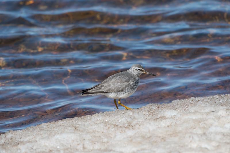 Gray-tailed Tattler