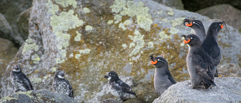 Crested & Least Auklets