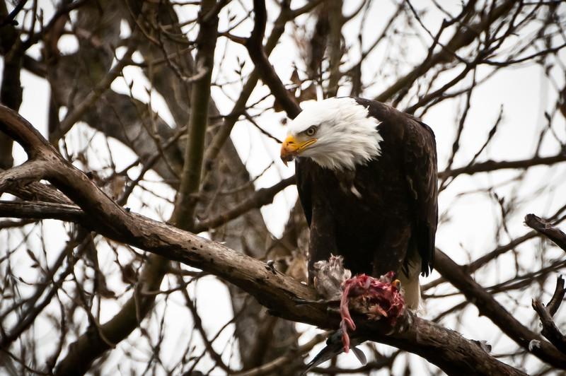 Bald Eagle eating a Wigeon, Sacramento NWR, CA  January 2010