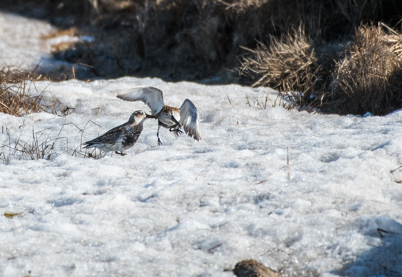 Rock Sandpiper and Dunlin fighting