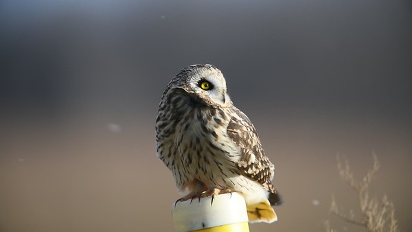 Short-eared Owl Barking and Calling
