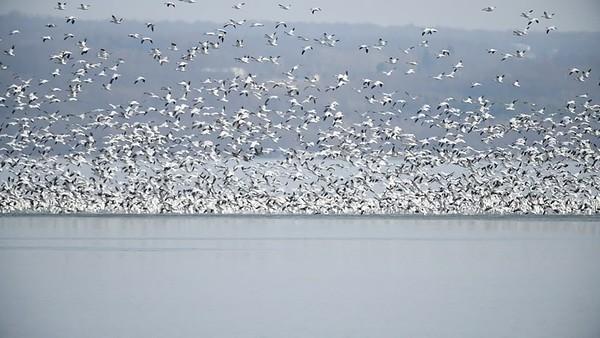 Snow Geese Migration Cayuga Lake, NY