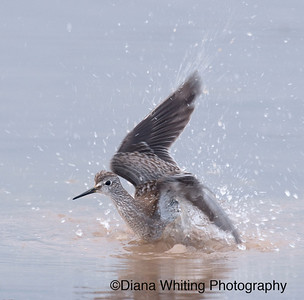 Lesser Yellowlegs Taking a Bath