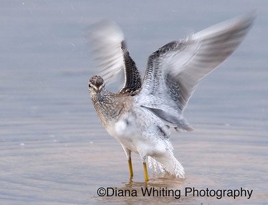 Lesser Yellowlegs 4