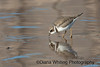 Semi-palmated Plover_DEW7308 copy