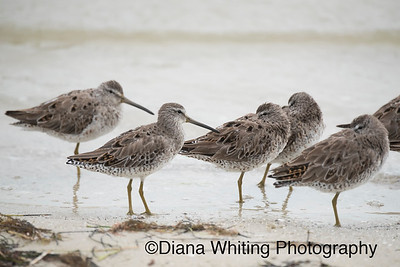 Long-billed Dowitcher copy