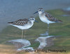 Least Sandpipers_DEW2938 copy 2