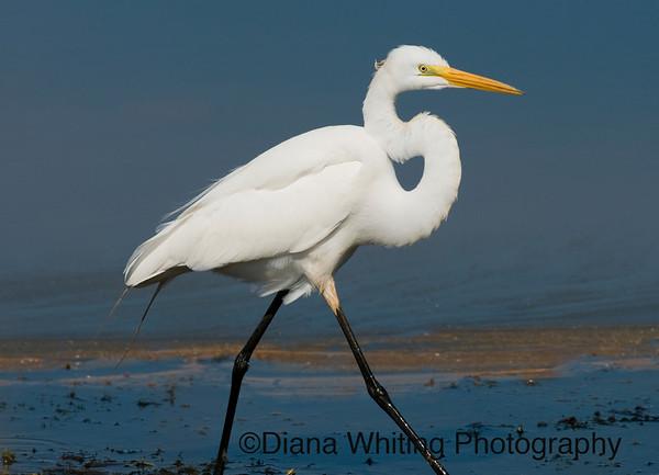 Great Egret Spring
