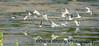 Shorebird Migration Montezuma Wildlife Refuge copy
