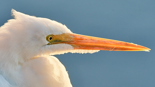 Great Egret Backlit Portrait - Bolsa Chica Nature Preserve, California