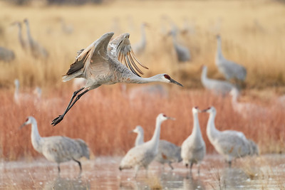 Sandhill Crane on Launch - Bosque Del Apache NWR, NM