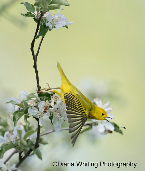 Yellow Warbler Chasing Insect