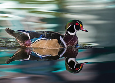 Wood Duck Reflection 2