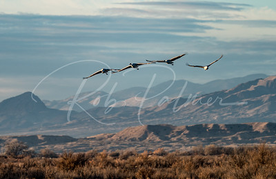 Sandhill Cranes over the foothills