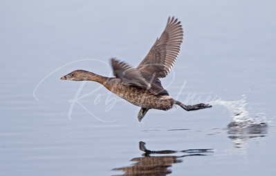 Pied Billed Grebe taking off