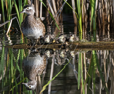 Wood Duck with her ducklings