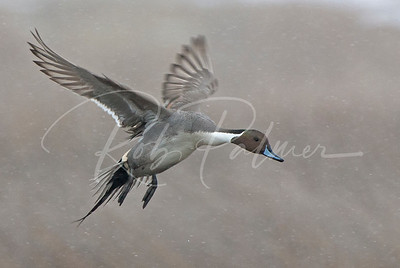 Northern Pintail landing in the snow