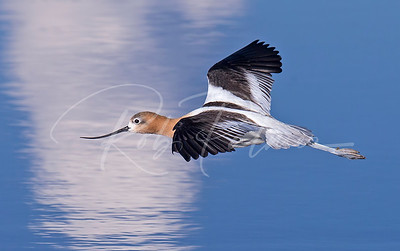 American Avocet cruising a pond