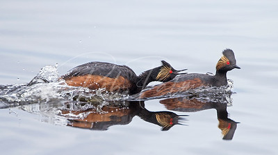 Eared Grebes having a squabble