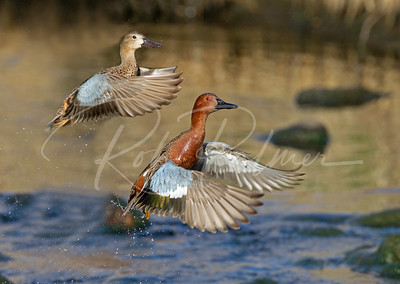 A pair of Cinnamon Teal