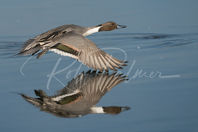 Drake Pintail take-off