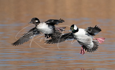 Pair of buffleheads landing
