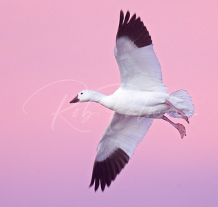 Snow goose landing before sunrise