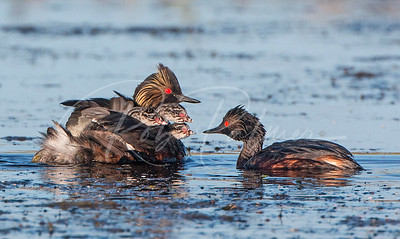 Eared Grebes with three chicks.