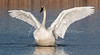 Trumpeter Swan wing stretch