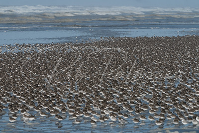 Shorebirds galore
