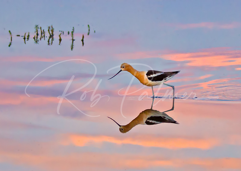 Avocet Sunset